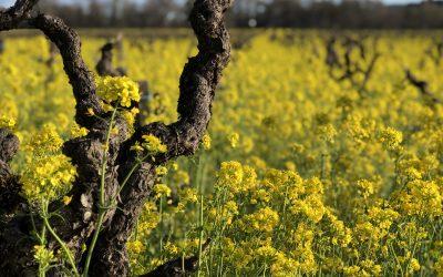 Mustard in the Vineyard!