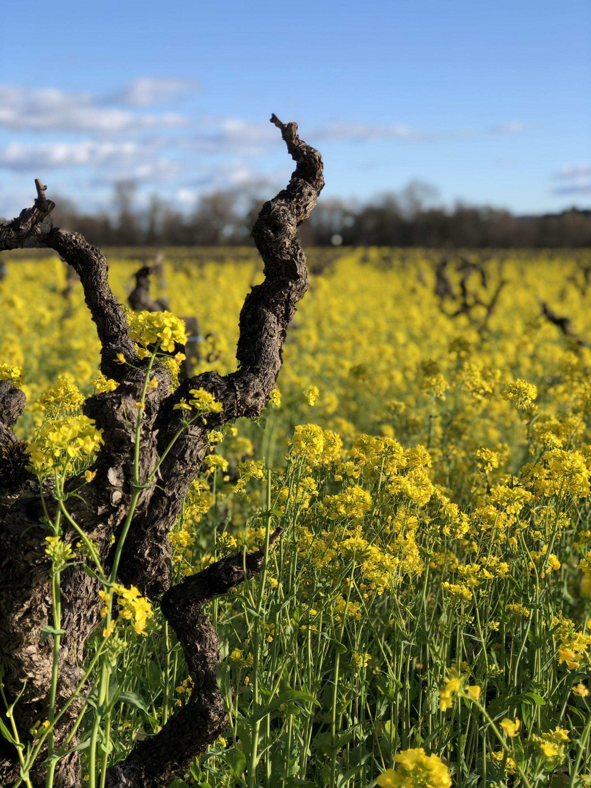 Mustard among head-trained vines
