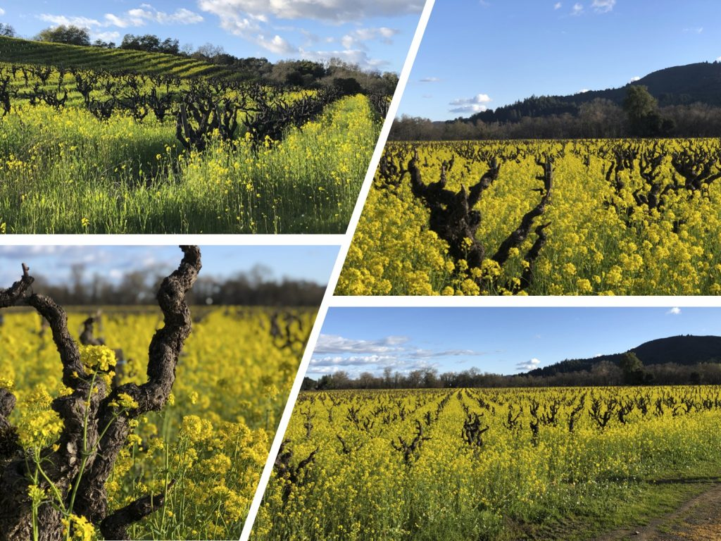 4 images of mustard growing in vineyards