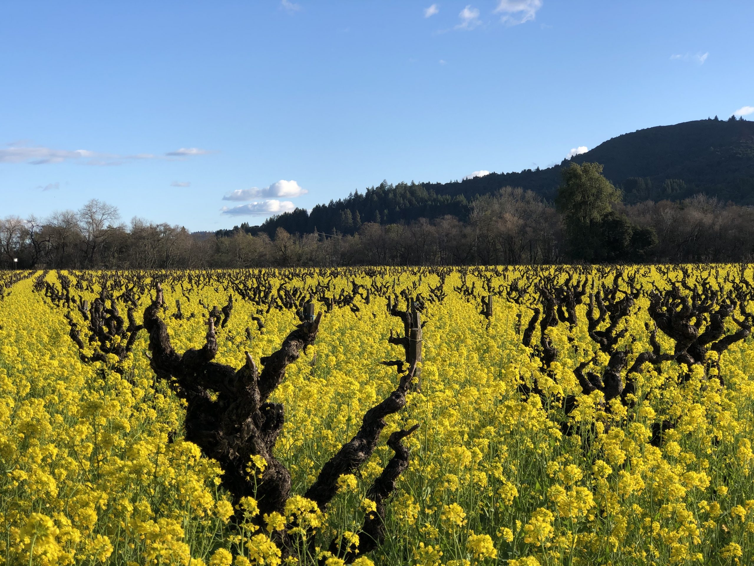 Old Vine vineyard surrounded by mustard